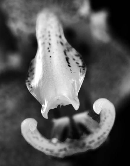 Stanhopea graveolens orchid