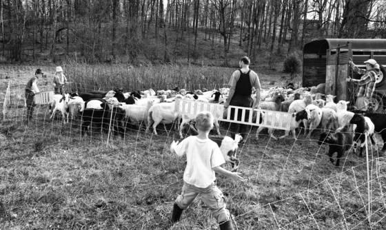 Loading sheep
