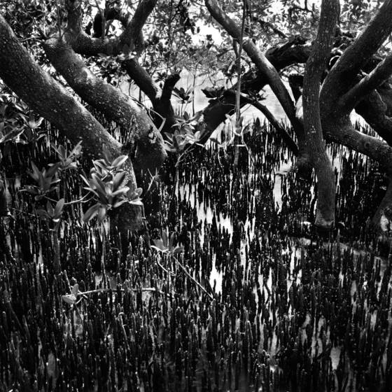 Black mangrove trees   roots