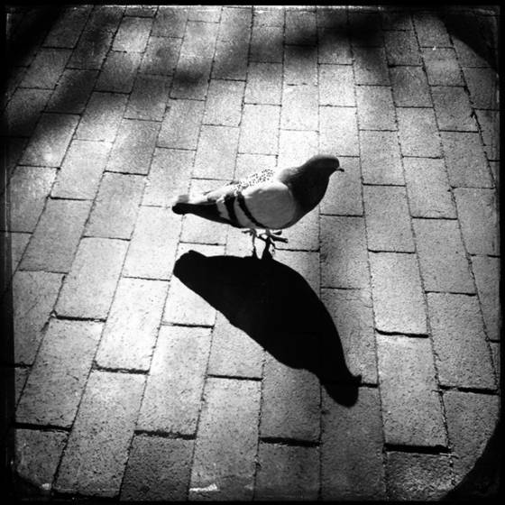 Plaza pigeon