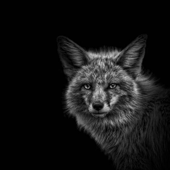 Breckenridge fox