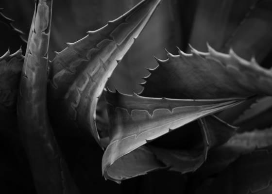 Agave xylonacantha 1