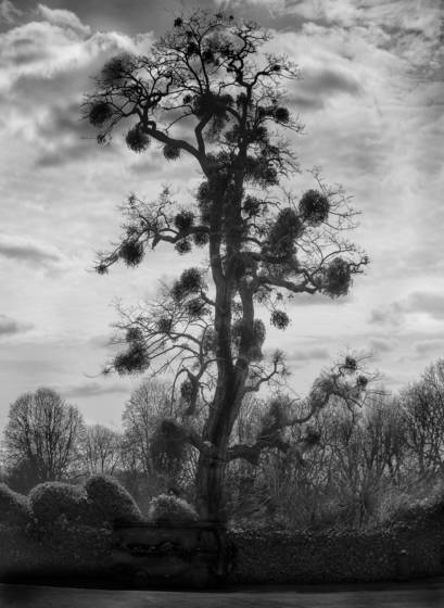 Autstrailian lime tree with mistletoe custers