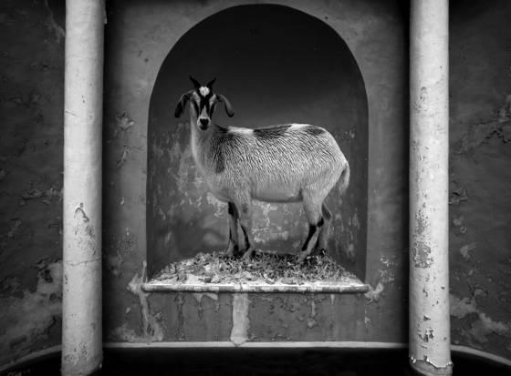 Model goat