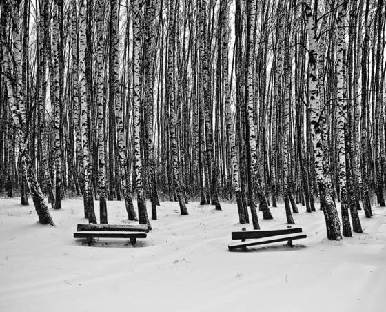 Birches and benches