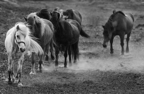 Horses south icelandic plain 1584