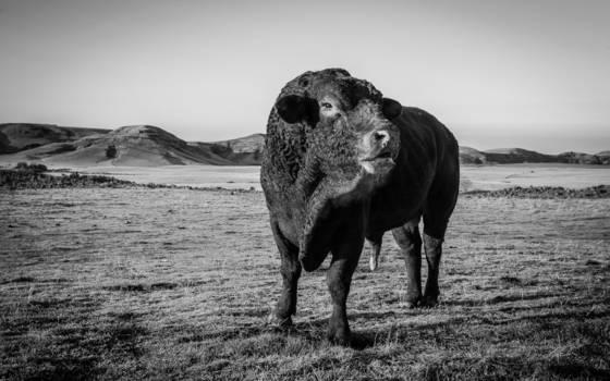 This bull s territory