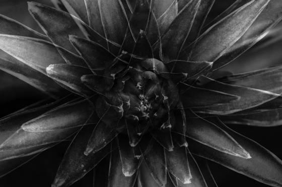 Hosta flower  multiple exposure