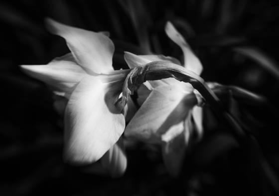 Daffodils dazed