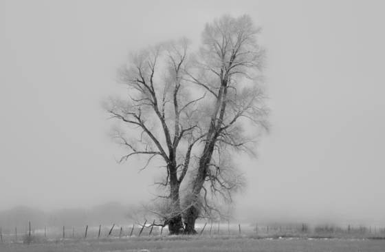 Cottonwood and fog