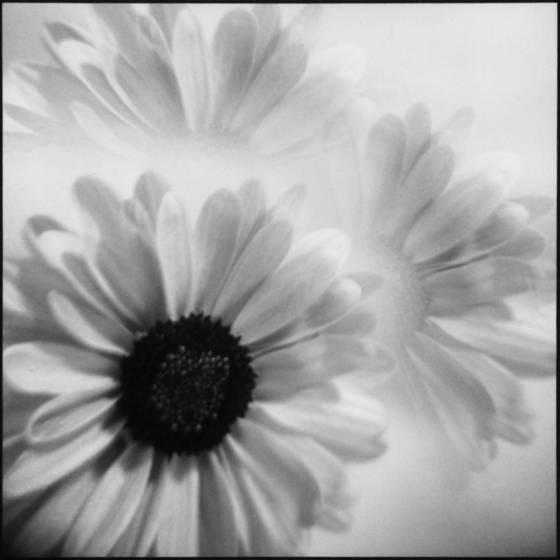 holga  daisy