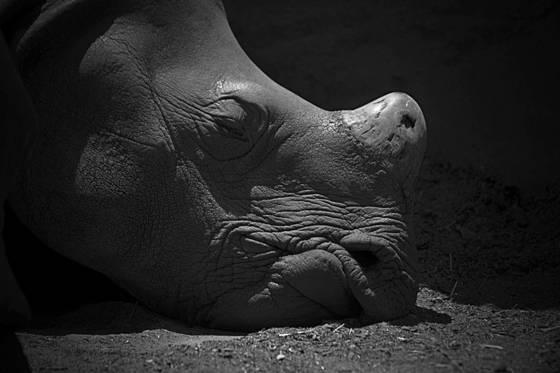 Rhino unawake