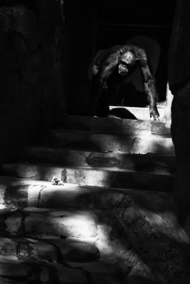 Ape descending a staircase
