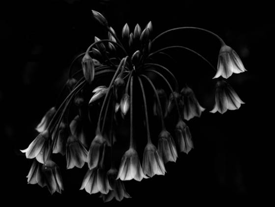 Allium garden