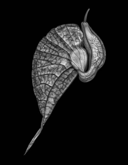 Aristolochia bud