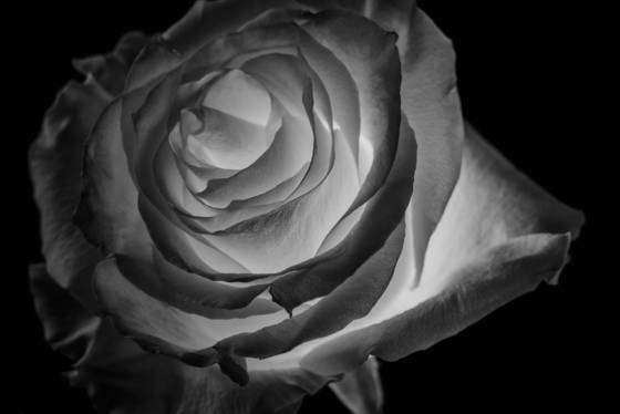 Incandescent rose