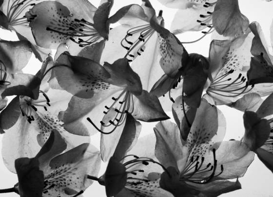 Transluscent flowers