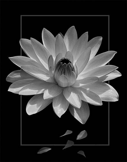 The framed waterlily