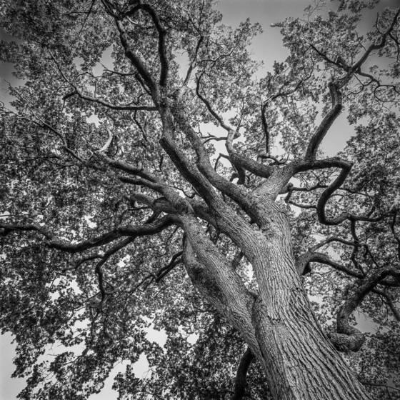 Elm tree ascension