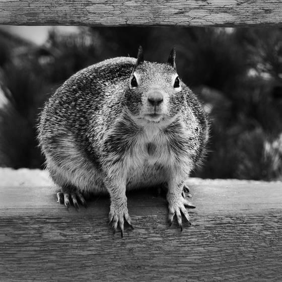 Gros ecureuil