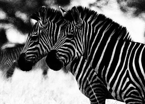 Adult zebras