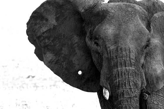 Elephant with a pin hole