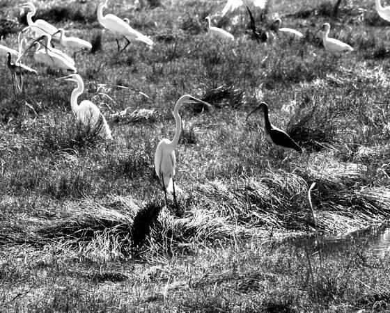 Everglades cranes