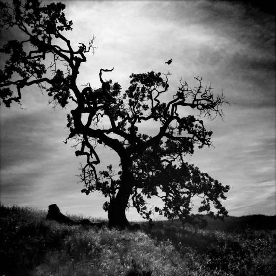 Oak and raven