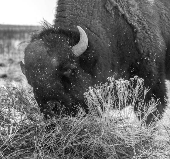 Angry bison 2b