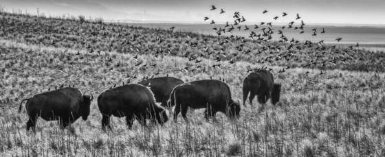Bison and flock of starlings
