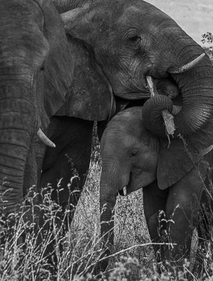 Desert elephants 1