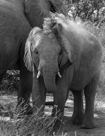 Desert elephants 6