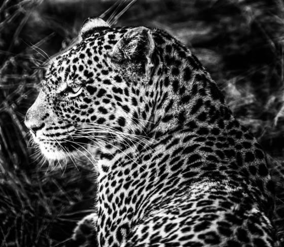 11  leopard profile