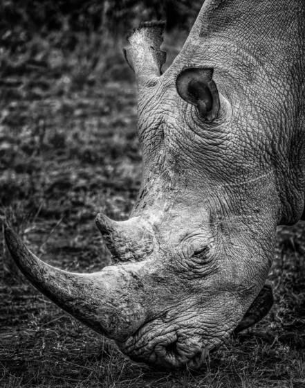7  rhino