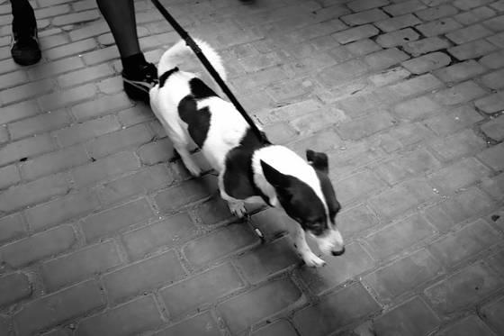 Dogs of havana 12