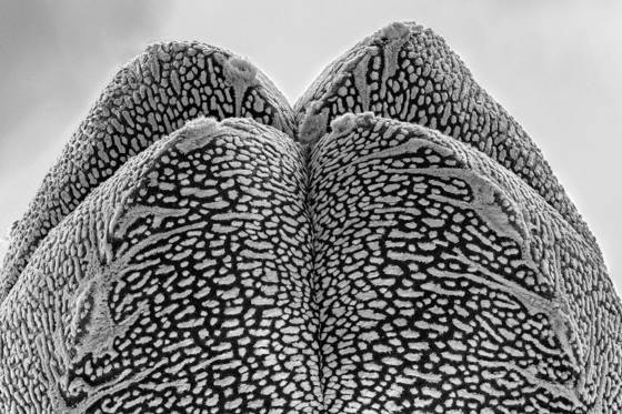 7 astrophytum myriostigma  onzuka  quadricostatum
