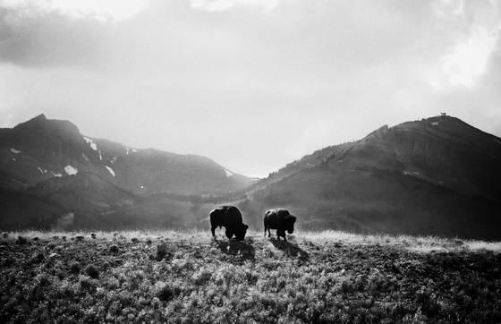 Teton buffalo