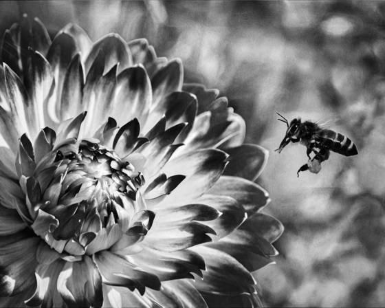 Bee   dahlia