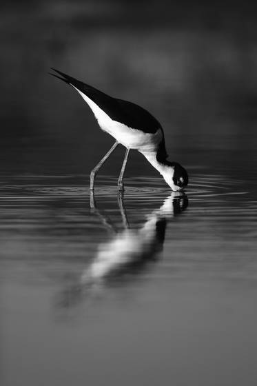 Black necked stilt mirror
