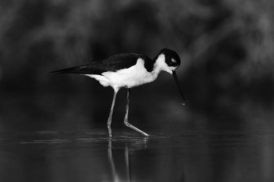 Black necked stilt waterdrops
