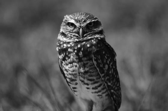 Burrowing owl impressions
