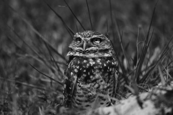 Burrowing owl sky