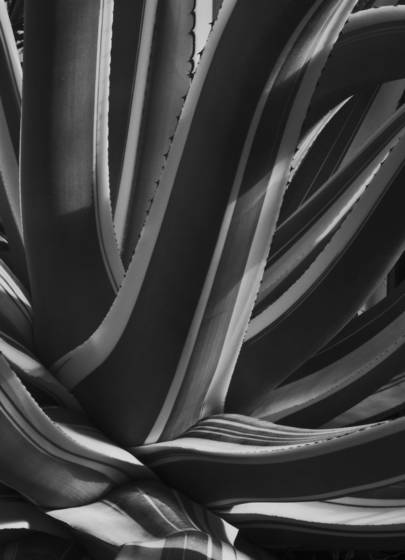 American century plant
