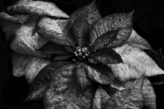 Poinsettias in shades of gray