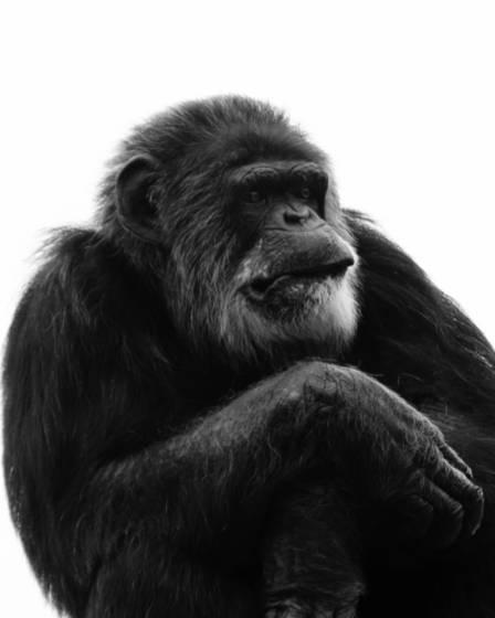 Chimp stress