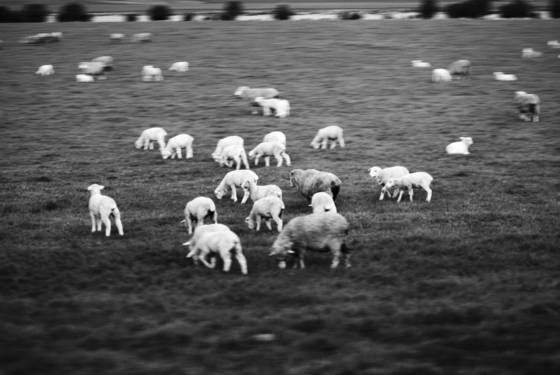 Sheep seen from train