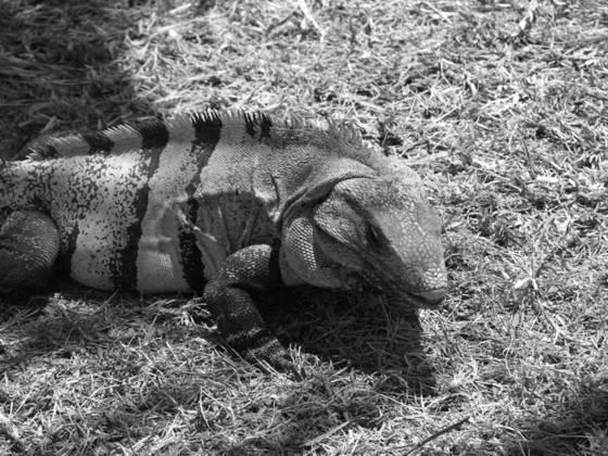 Iguana joe