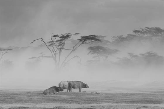 Cape buffalo in sandstorm