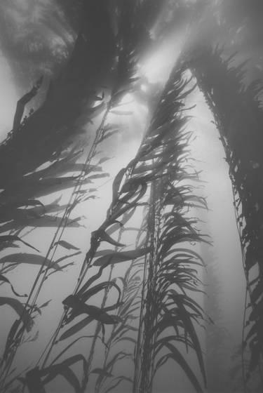 Giant kelp canopy light