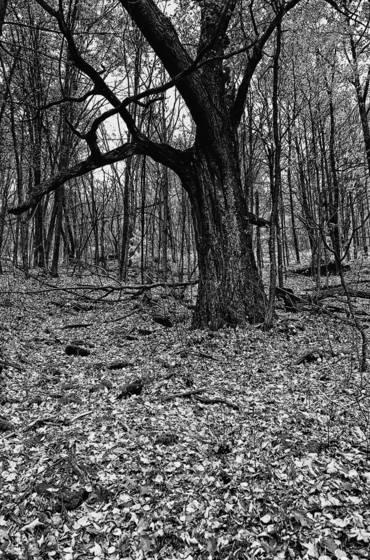More oak tree